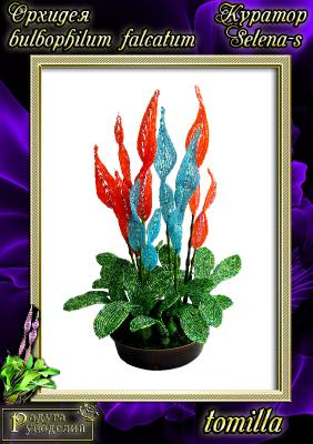 Галерея выпускников Орхидея Bulbophullum falcatum _6d4424ede2b4ab7e5afd133f6eb7800a