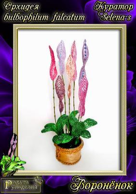 Галерея выпускников Орхидея Bulbophullum falcatum _642b817ec3718b1937f753e7406e067f