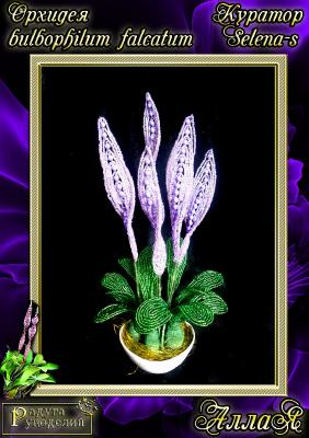 Галерея выпускников Орхидея Bulbophullum falcatum _3583b197f79d3cbba00035a4f196bece