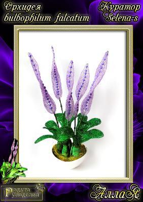 Галерея выпускников Орхидея Bulbophullum falcatum _68794cfd9e69b6a47d957e0494c11edc